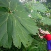 giant leaf in the rainforest